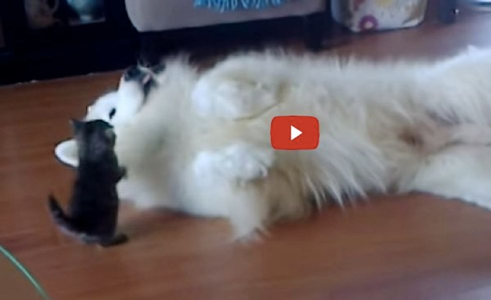 Little Kitten Playing With His Samoyed