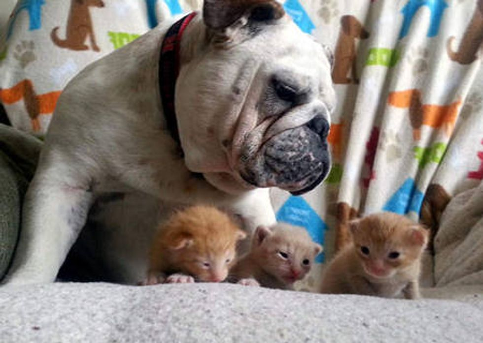 Foster Kittens Find A New Dad - Hammie The Bulldog