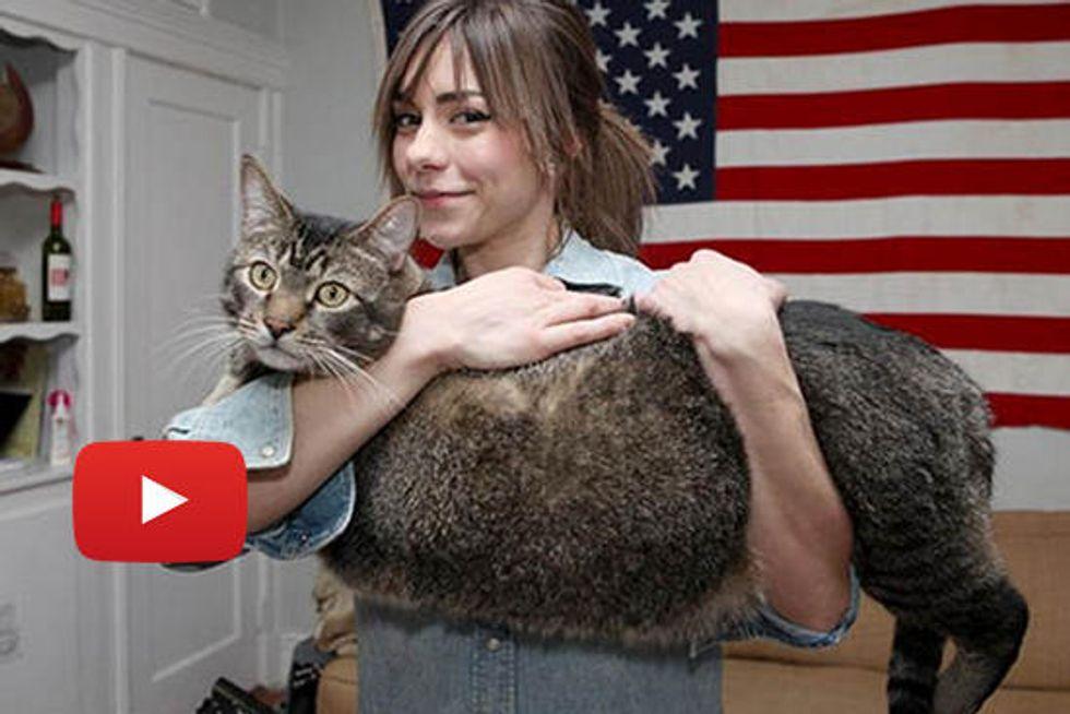 Pickles The Rescue Cat aka 'Catasaurus Rex' Finds A Home