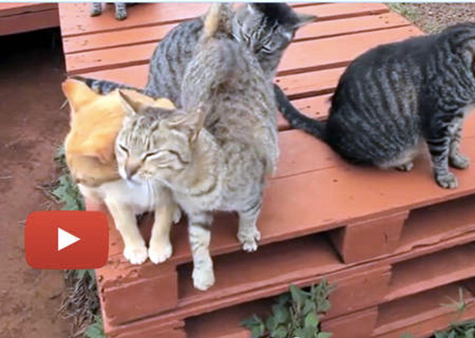 Happy Friendly Island Cats At Cat Sanctuary In Hawaii