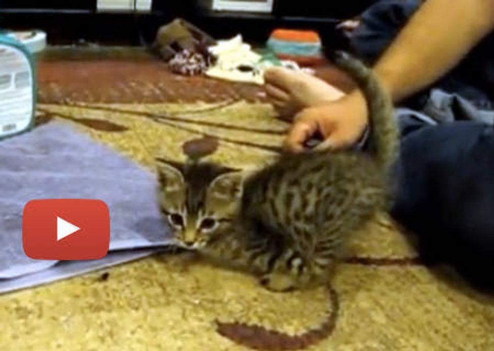 Mercury The Amazing 2 Legged Cat [Videos]