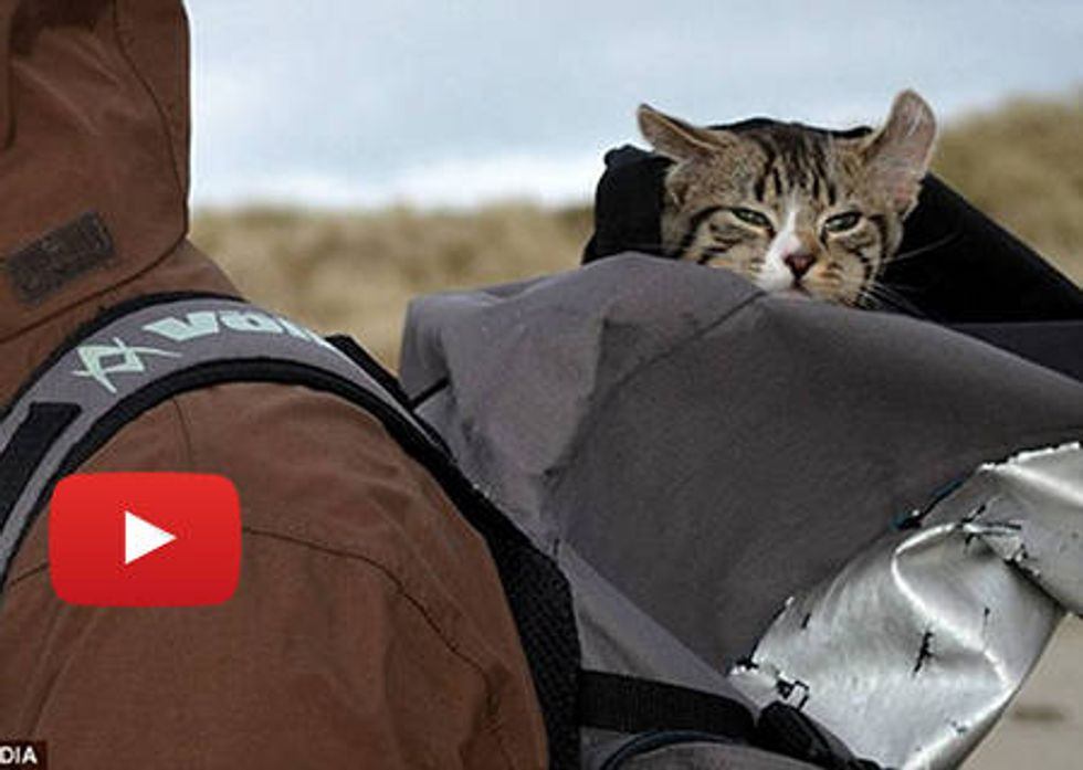 Higgs The Cat Likes To Travel In Backpack