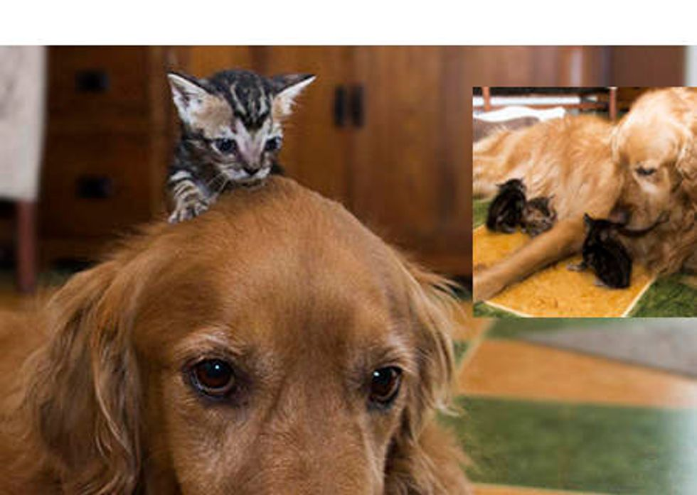Orphan Kittens Adopted By Therapy Dog