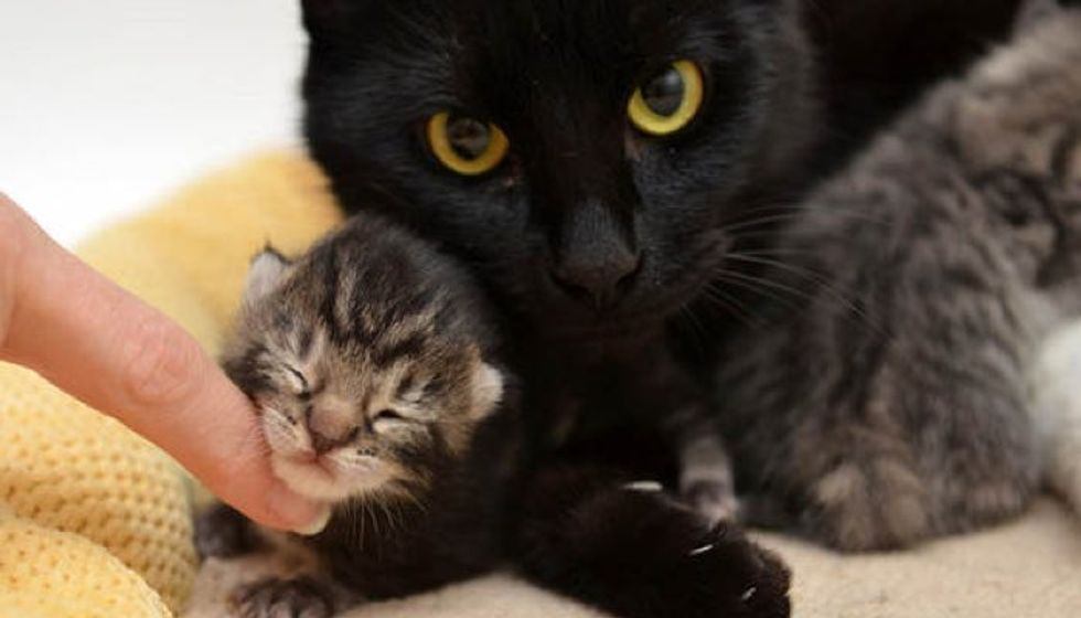 Rescue Cat Mama Had One Kitten Adopted Orphan Babies