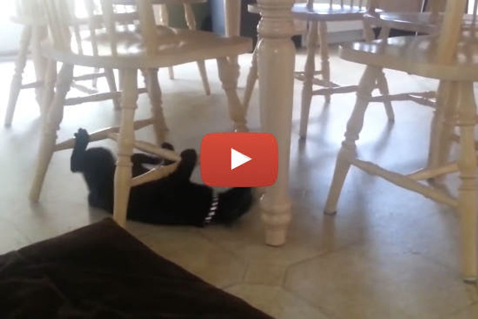 Silly Cat Uses Chairs as Monkey Bars