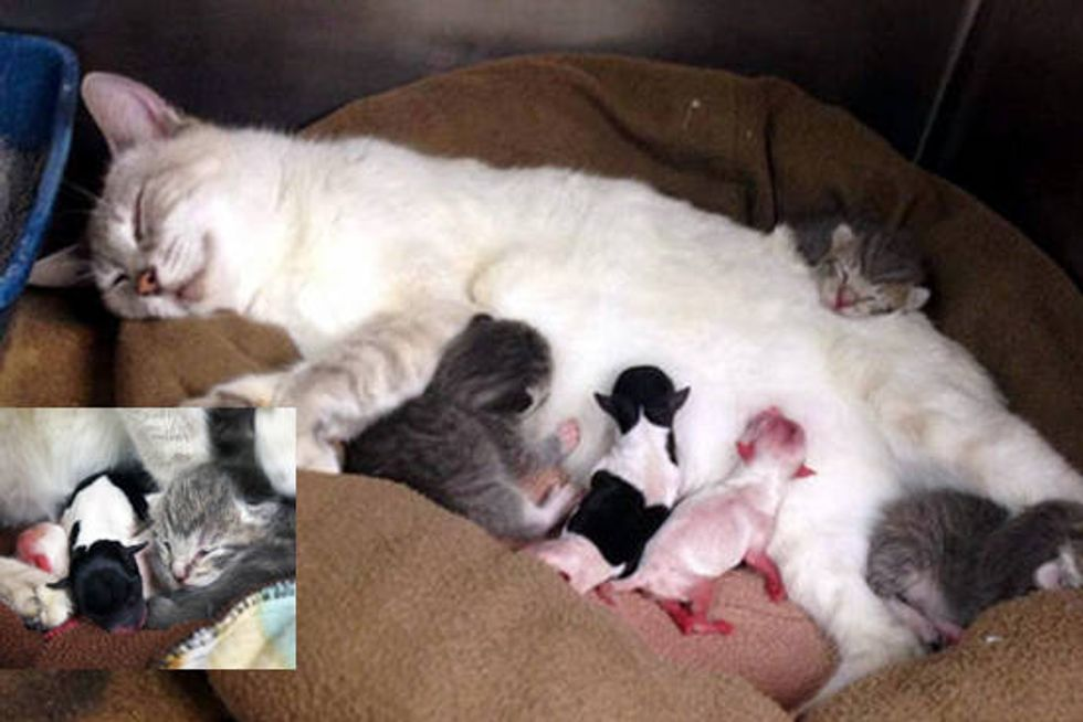 Cat Becomes Surrogate Mom To Preemie Puppies