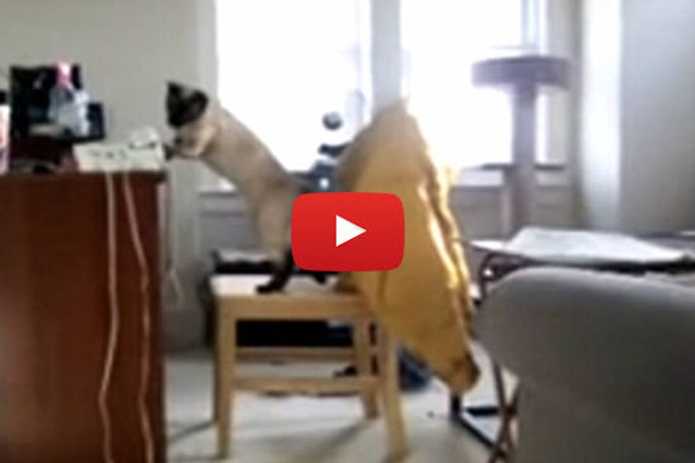 Siamese Cat Answers The Phone
