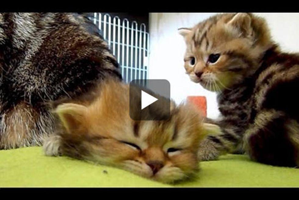 Kitten Is Too Sleepy