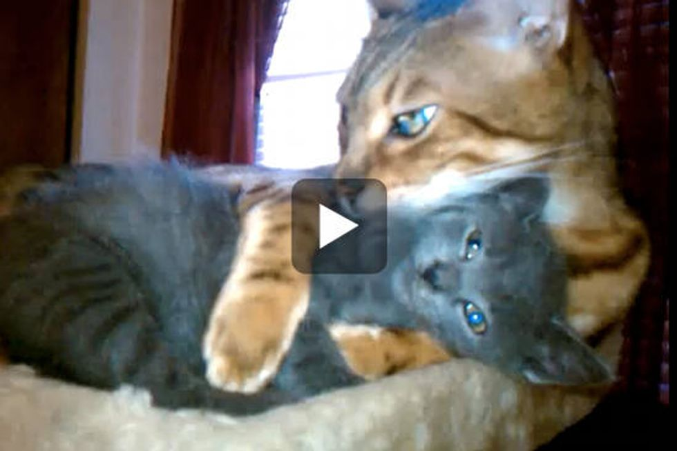 Bengal Cat Gives Foster Kitten Hugs
