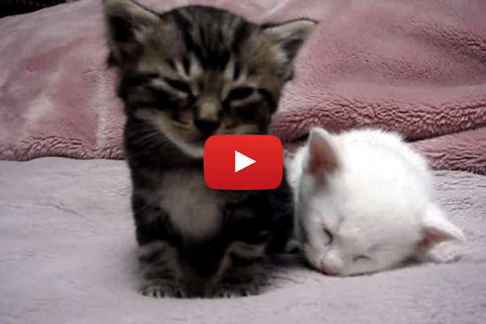 Kittens Falling Asleep