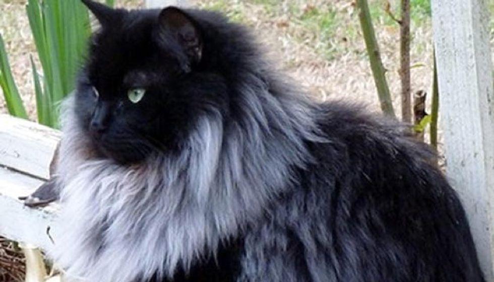 Black Cat Grows Magnificent White Winter Mane