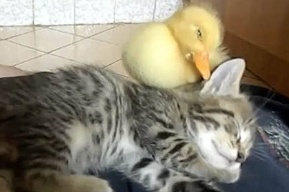 Cute Kitten And Duckling Sleeping Together