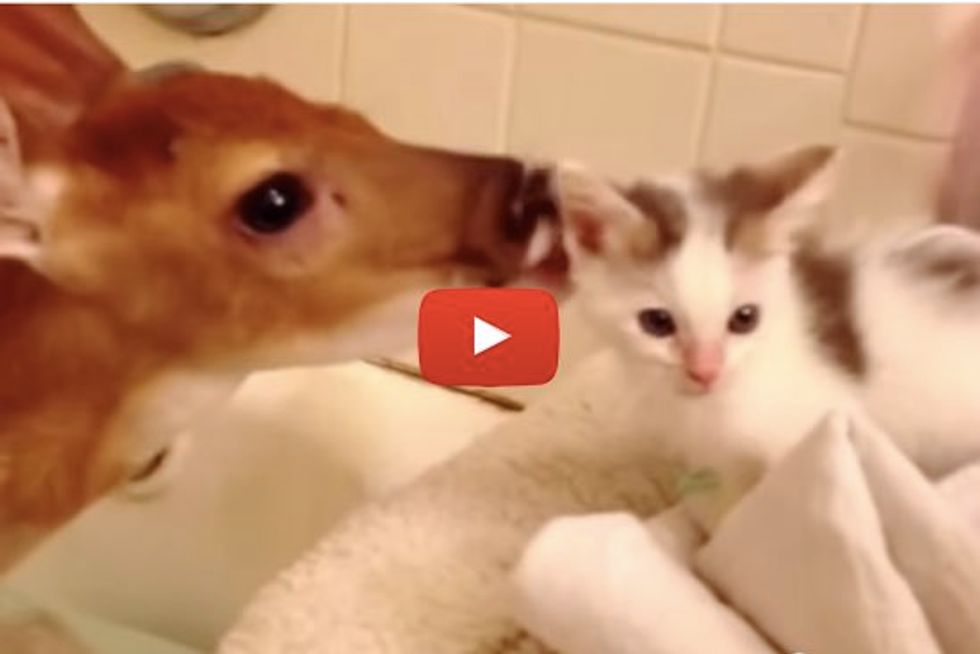 Tiny Kitten Meets Rescue Baby Deer