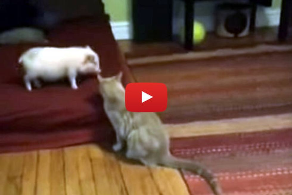 Cat Plays With Pig
