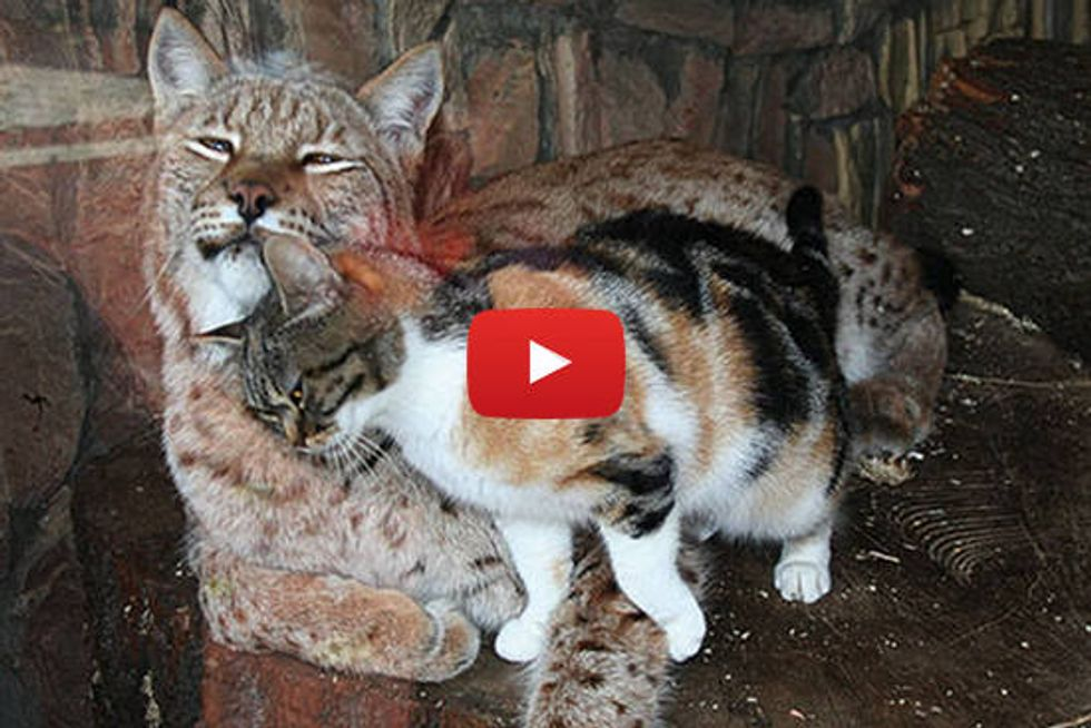 Cat And Lynx Become Inseparable Friends Love Meow