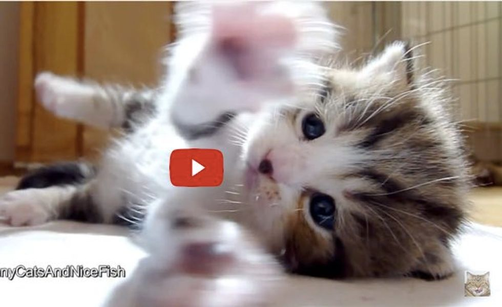 This Fluffy Kitty is Clapping Those Whappy Paws to His Audience!