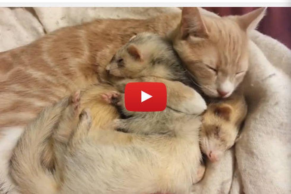 Cat Giving Ferrets A Bath