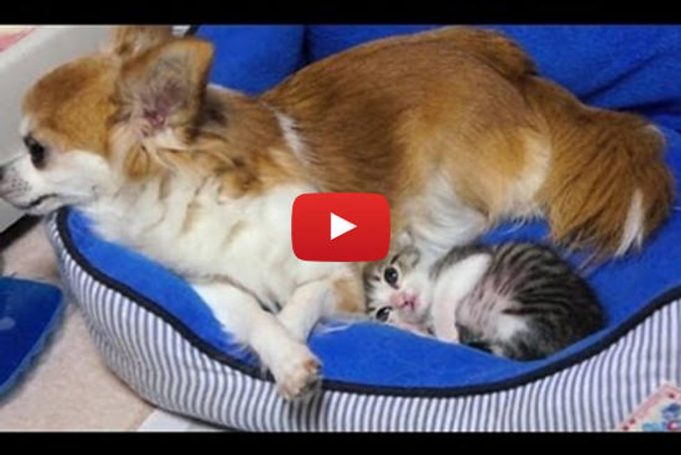 Tiny Kitten Snuggles With Chihuahua