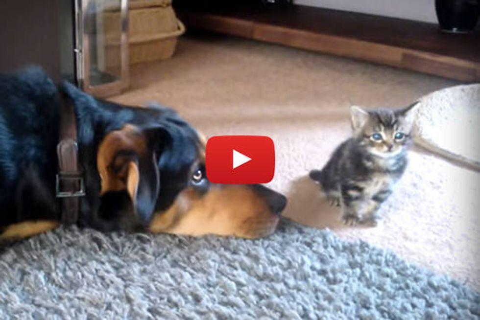 Kitten Meeting Doggie Friend - Day Two