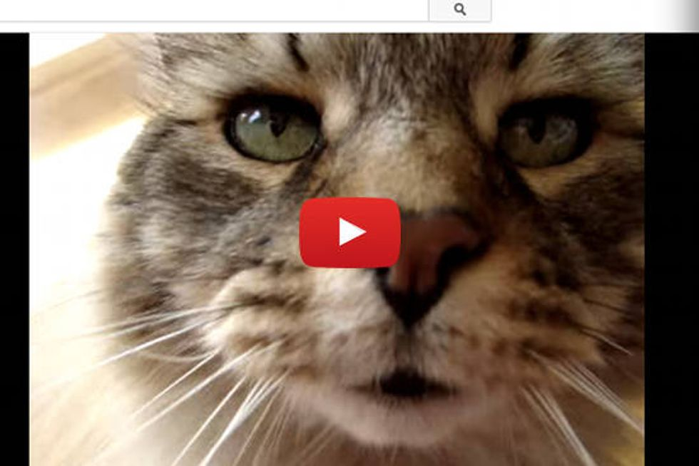 Chatty Maine Coon Cat