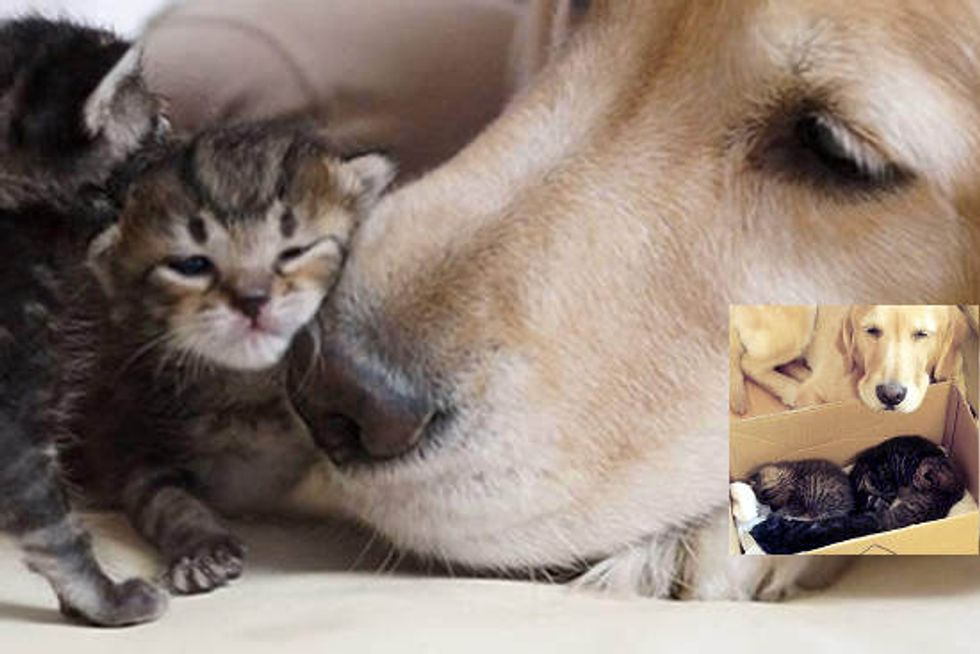 Dog Becomes Father To Rescue Kittens