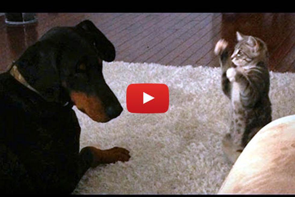 Cute 'Ninja' Kitten Shows Doberman Who's Boss