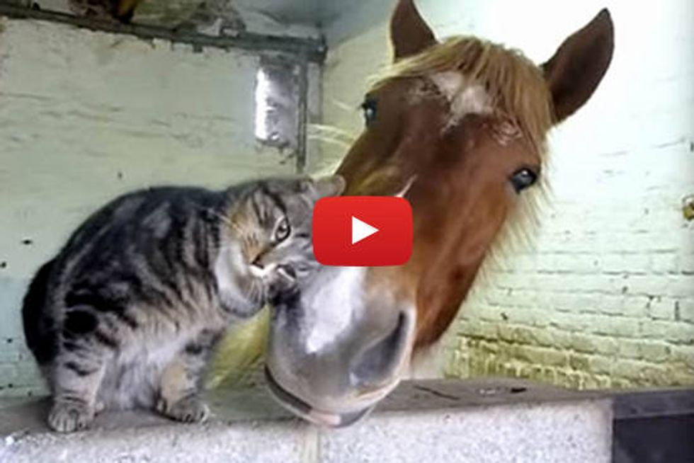 Affectionate Cat Cuddles With Horse