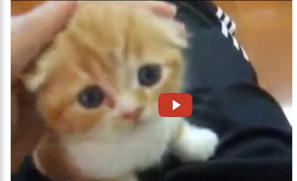 Kitten Wants Lap Time