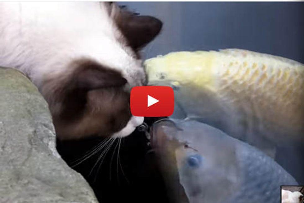 Ragdoll Cat Greets Koi Fish