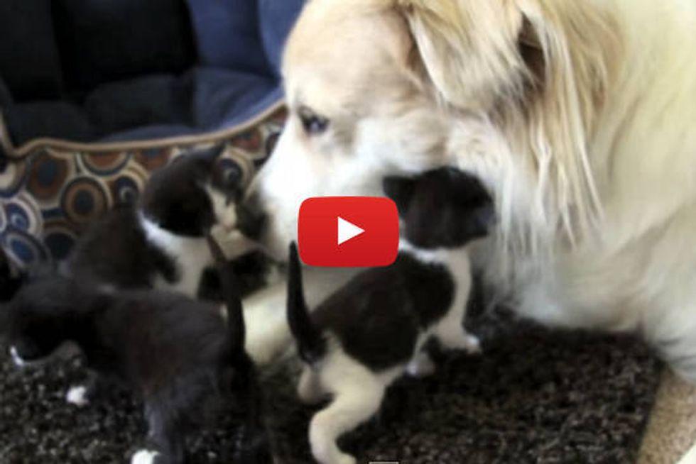 Dog Comforts Abandoned Baby Kittens