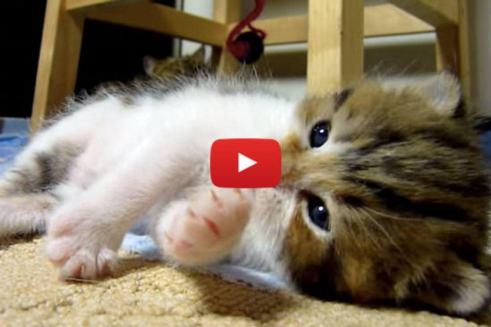 Kitten Falling Asleep While Playing