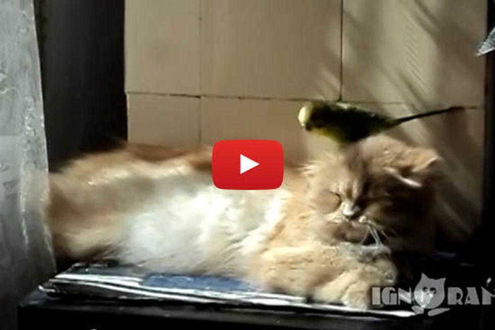 Cat Getting Preened
