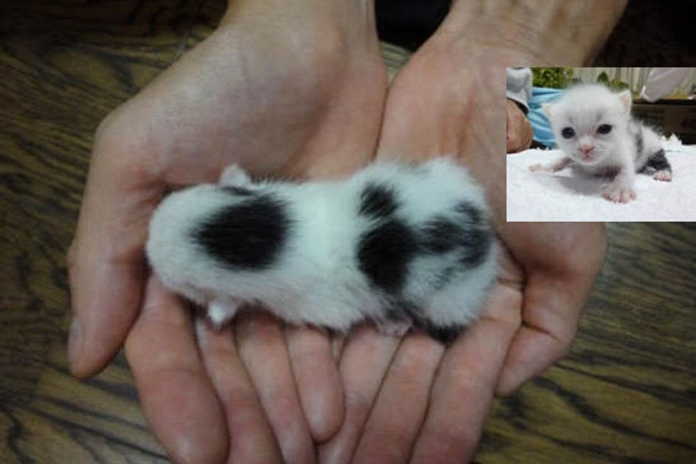 Little Cow Kitty's Rescue Journey from Baby to Cat