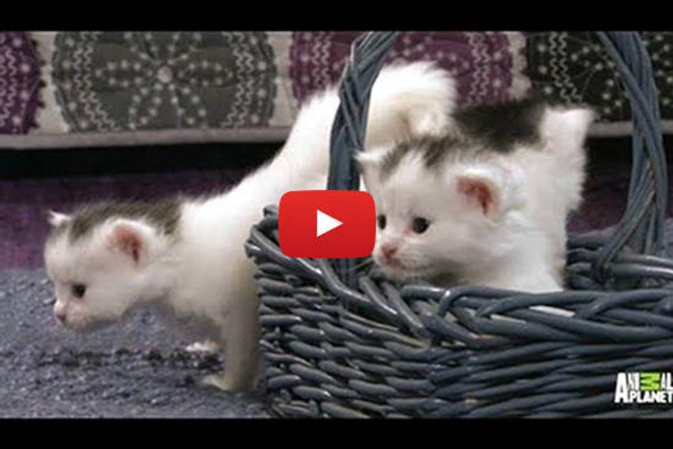 Precious Tiny Turkish Van Kittens - Too Cute!