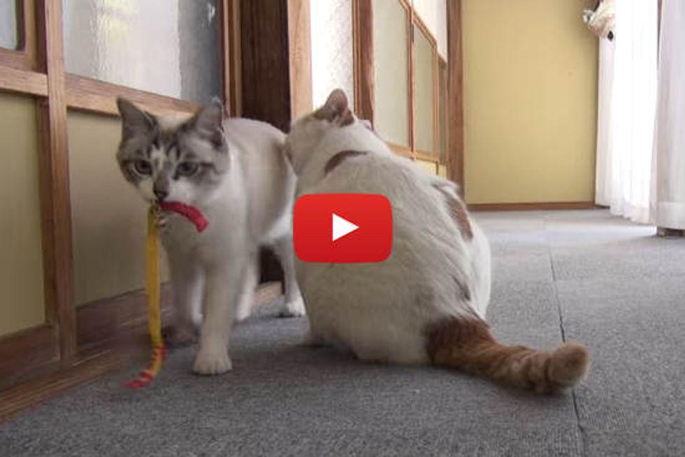 Kitty Fetches Like A Dog