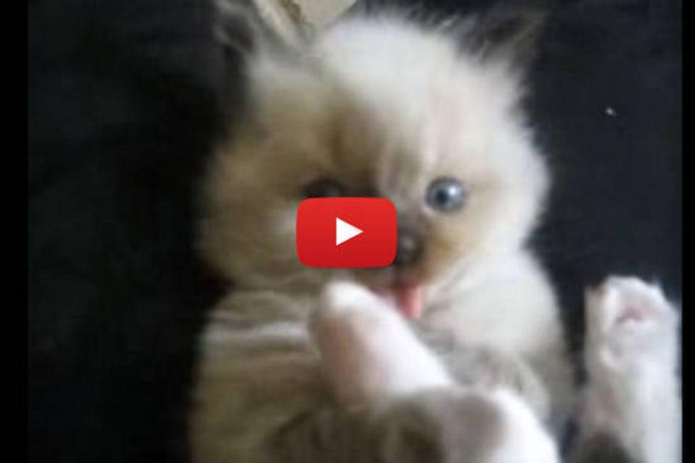 Adorable Lap Kitten