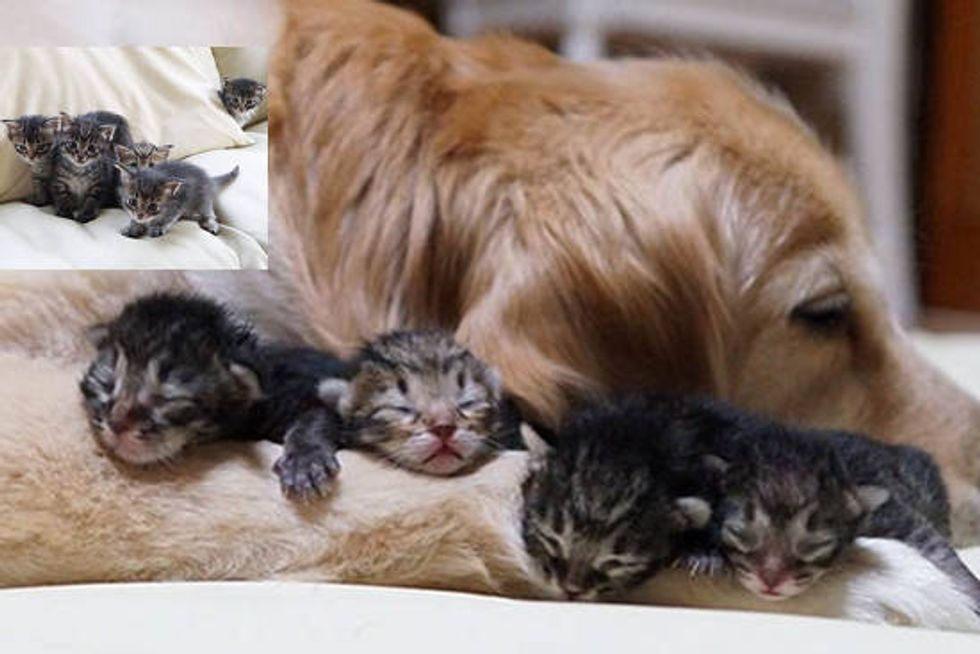 Foster Kittens Find New Surrogate Dad