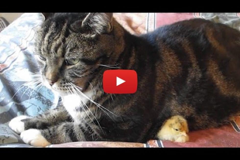 Baby Chick Nestles Under Cat!