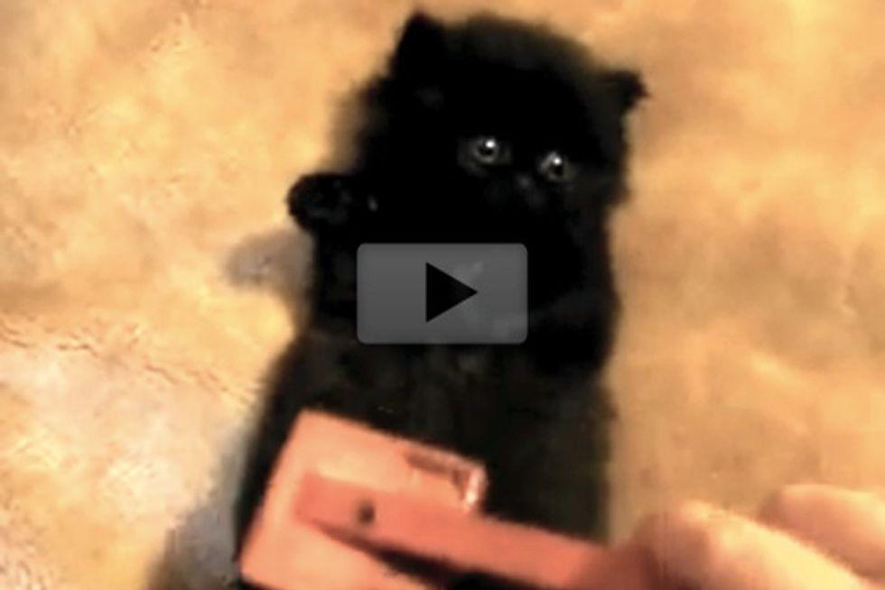 Kitten Gets Belly Brushing