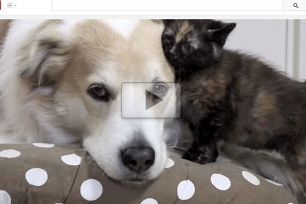 Tortie Kitten Falls In Love With Dog