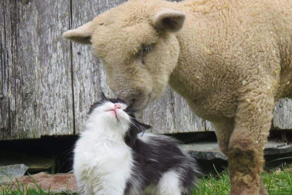 Cat Become Friends With Sheep