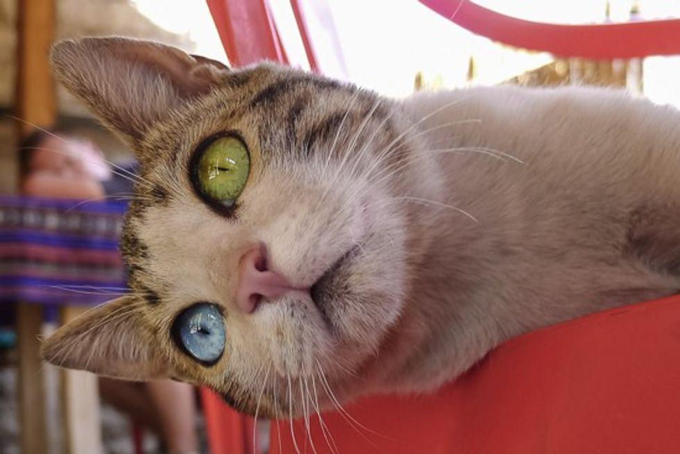 Odd-eyed Canyon Cat