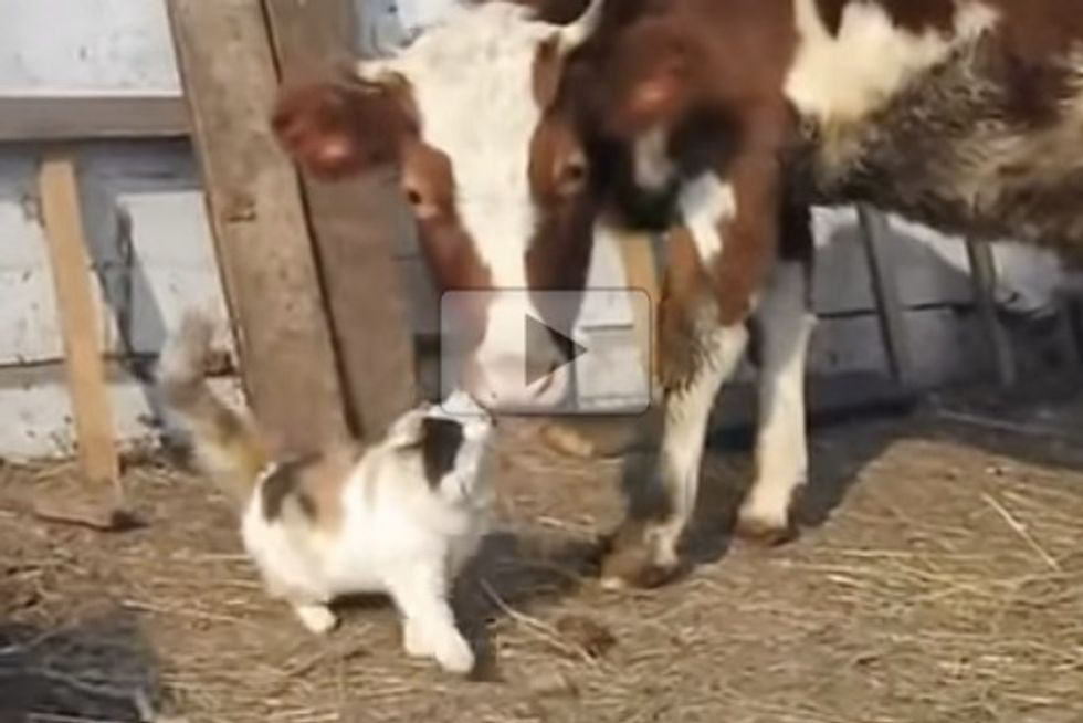 Cat Loves Her Cow Buddy