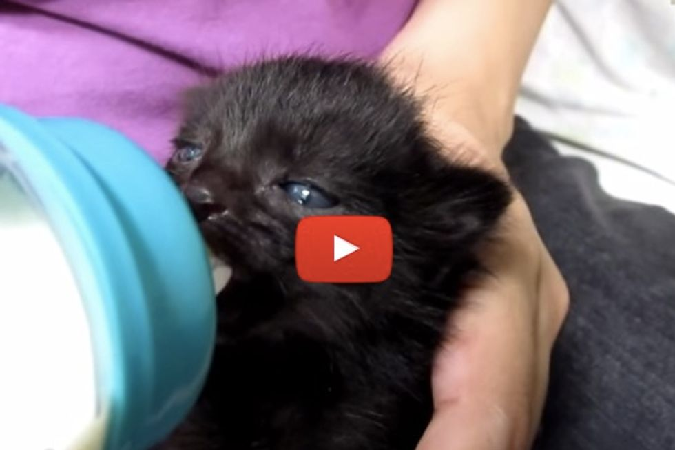 Baby Kitten Wiggles Ears While Drinking Milk From A Bottle