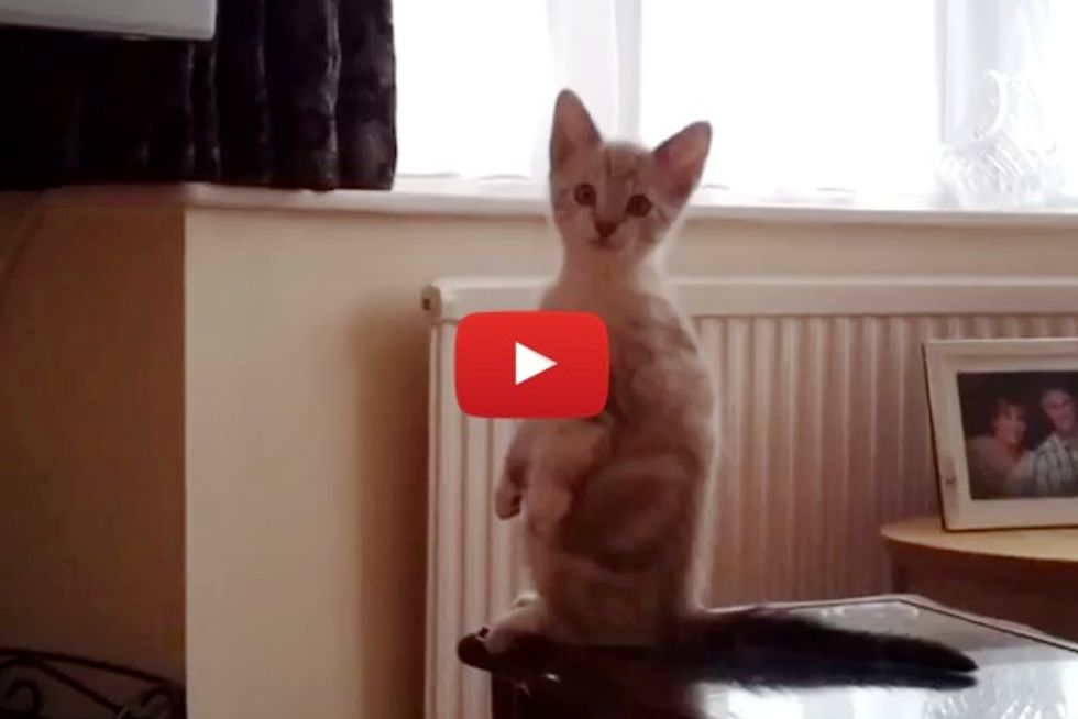 Kitten Standing Up Watching TV