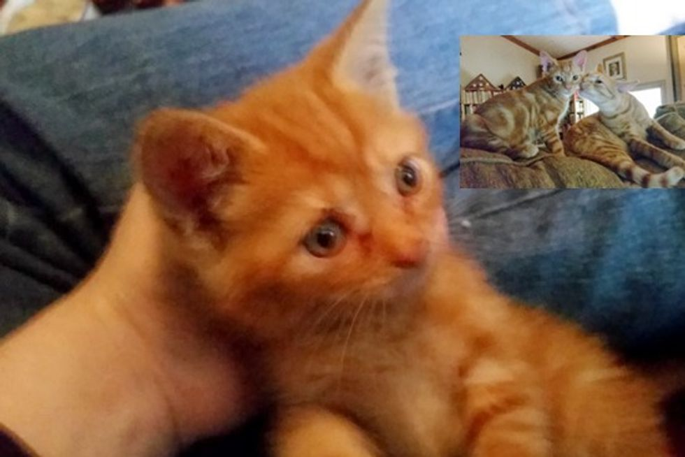 Rescue Ginger Kitten Finds A Home And A Ginger Buddy