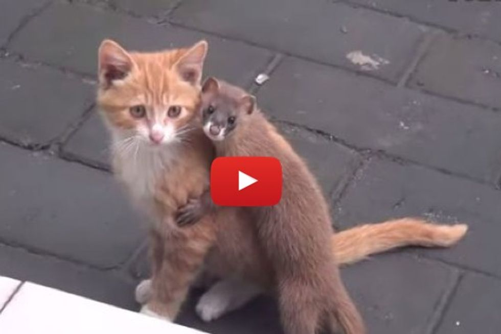 Kitty Has A Clingy Weasel Friend