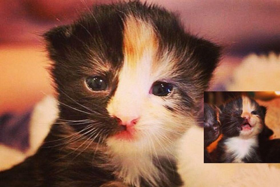 Janus The Adorable Chimera Kitty