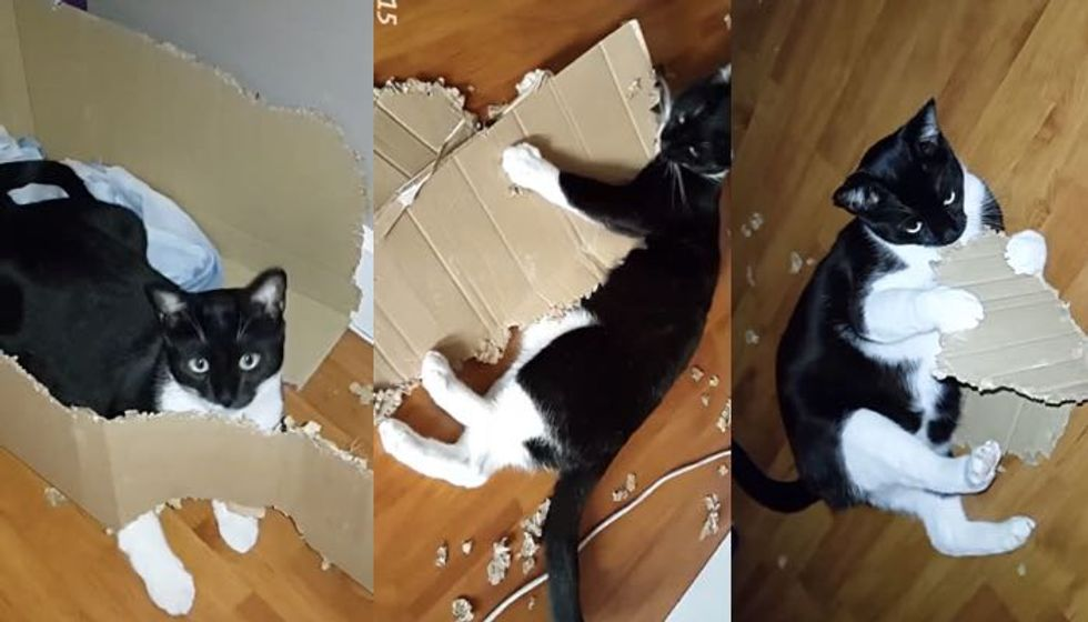 Cat Rips Large Box into Shreds, His Human Captures the Whole Process on Camera
