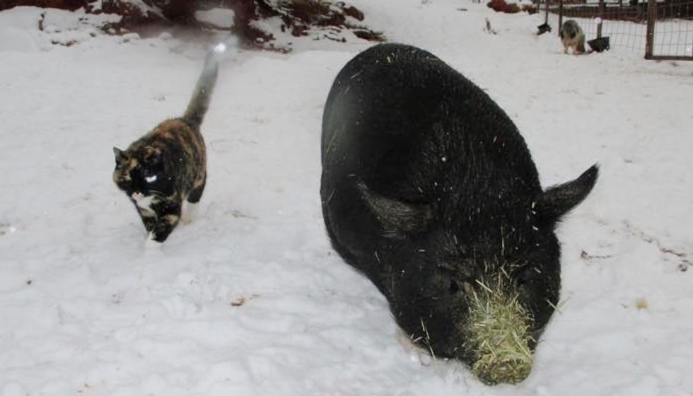 Feral Cat Becomes Guardian to Rescued Homeless Pigs